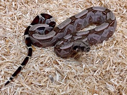 Picture of CBB Male Guyana Red Tail Boa
